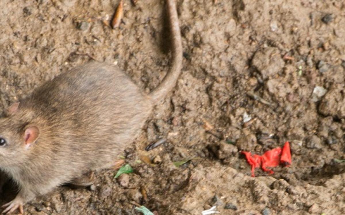 Comment Paris Lutte Contre Les Rats Ville De Paris