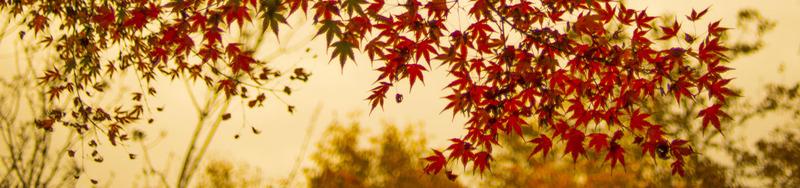 érable du japon - arbre