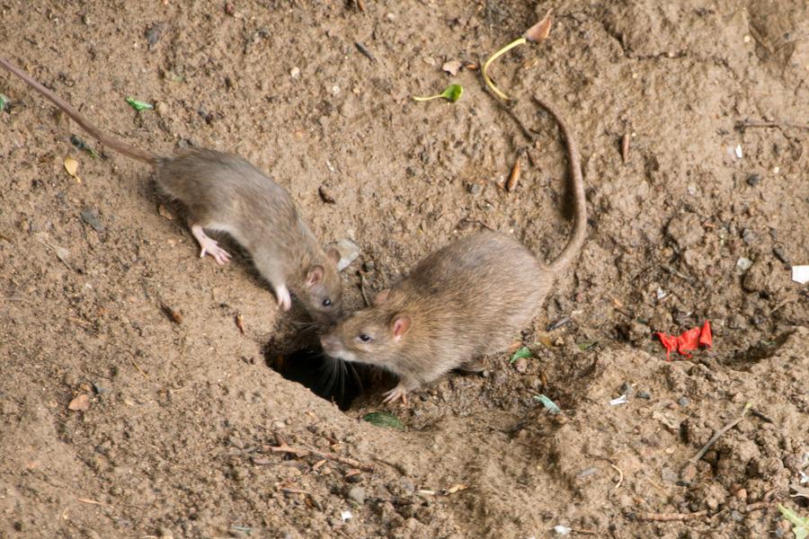 Rats sur l'ile Saint Louis au moment d'une crue