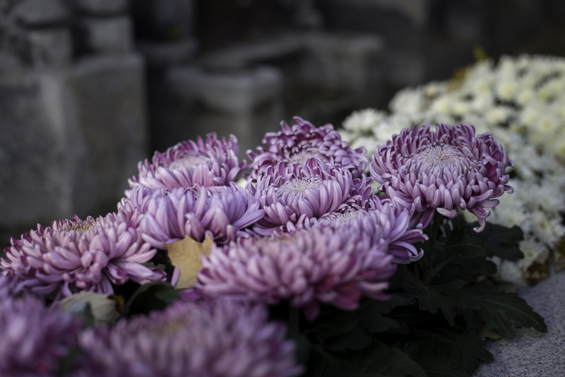 Chrysanthèmes au cimetière de Montmartre