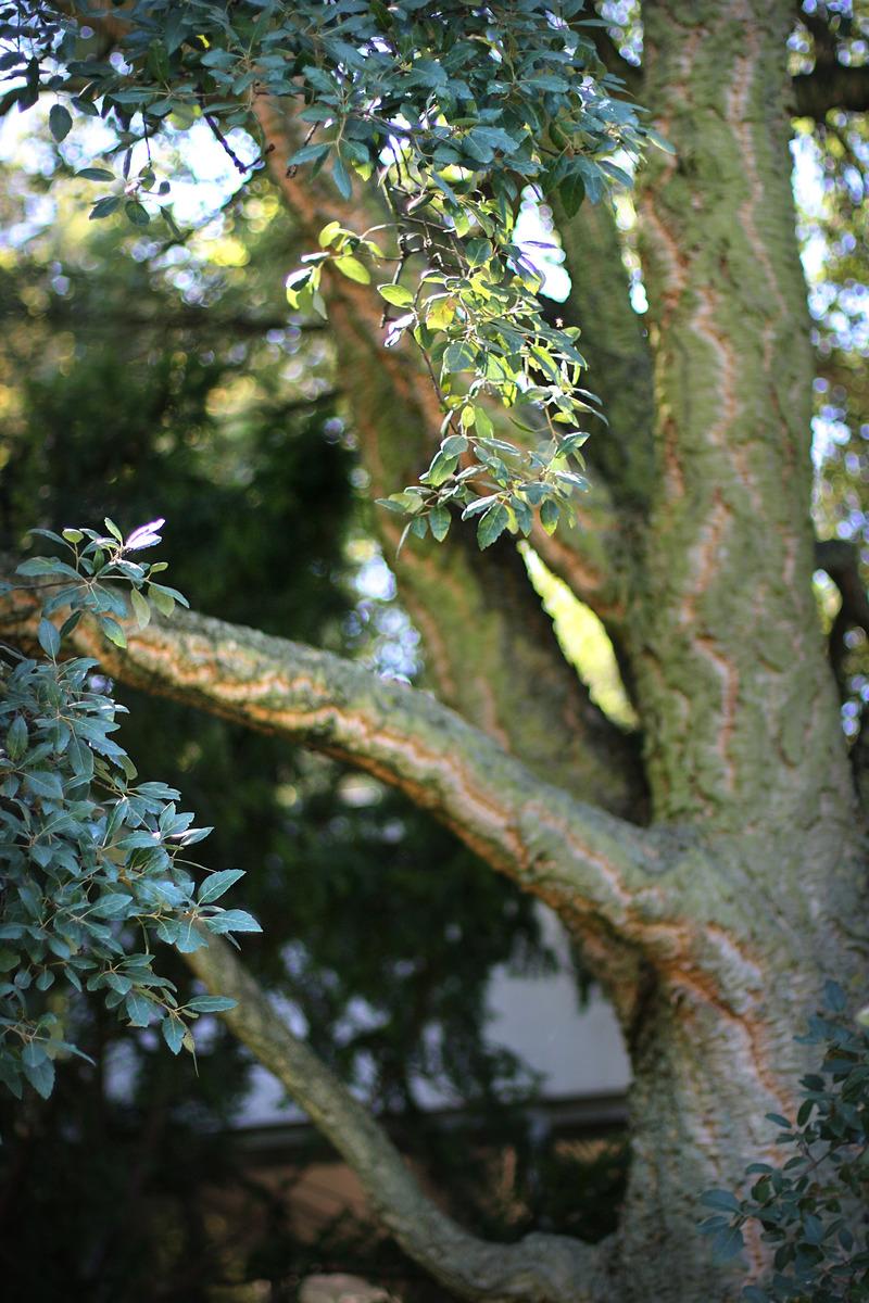 Chêne liège du parc Montsouris