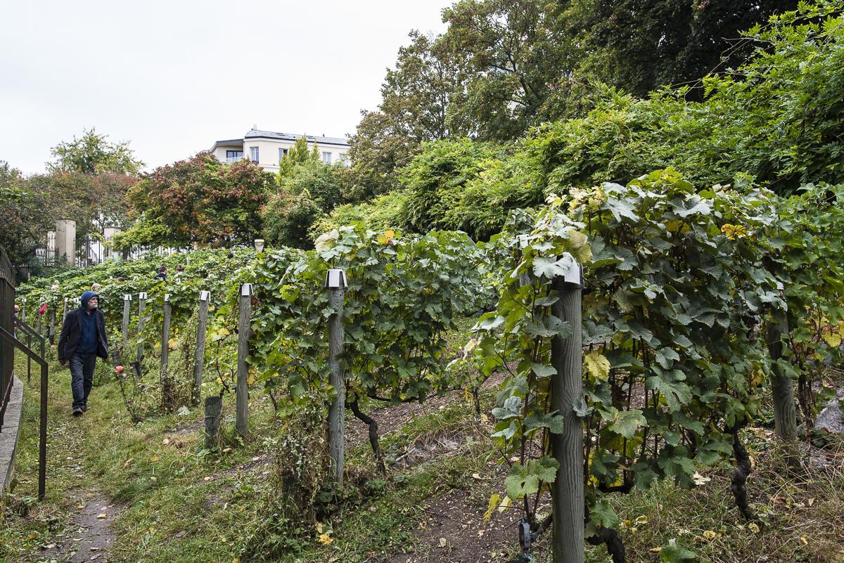 Les vignes du parc de Belleville