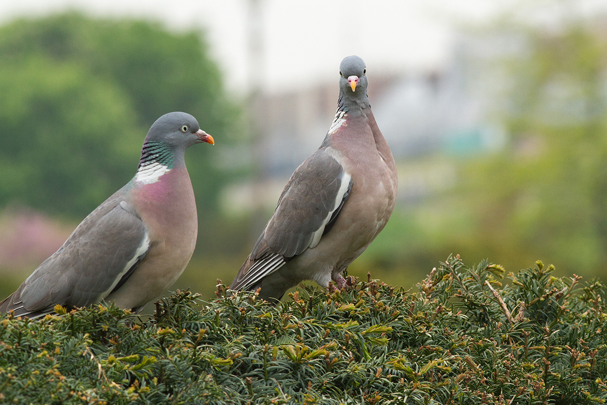 Pigeon ramier jardin des Tuileries