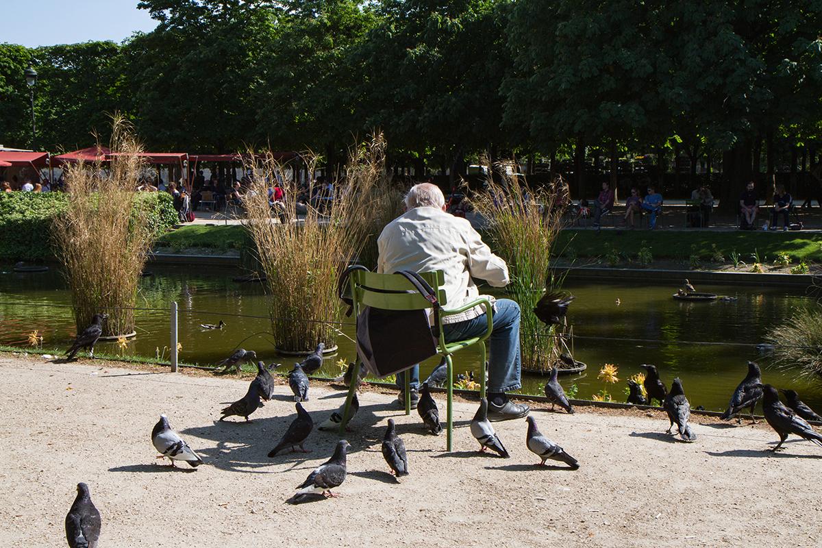 Pigeons jardins des tuileries