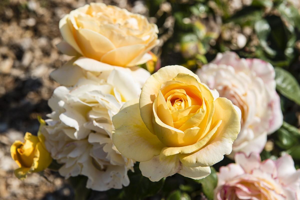 Roses dans un jardin