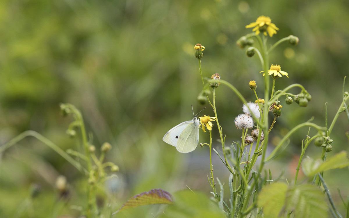 Papillon sur la petite ceinture