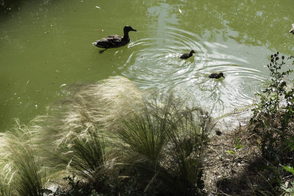 Une cane et ses canetons voguent sur le lac