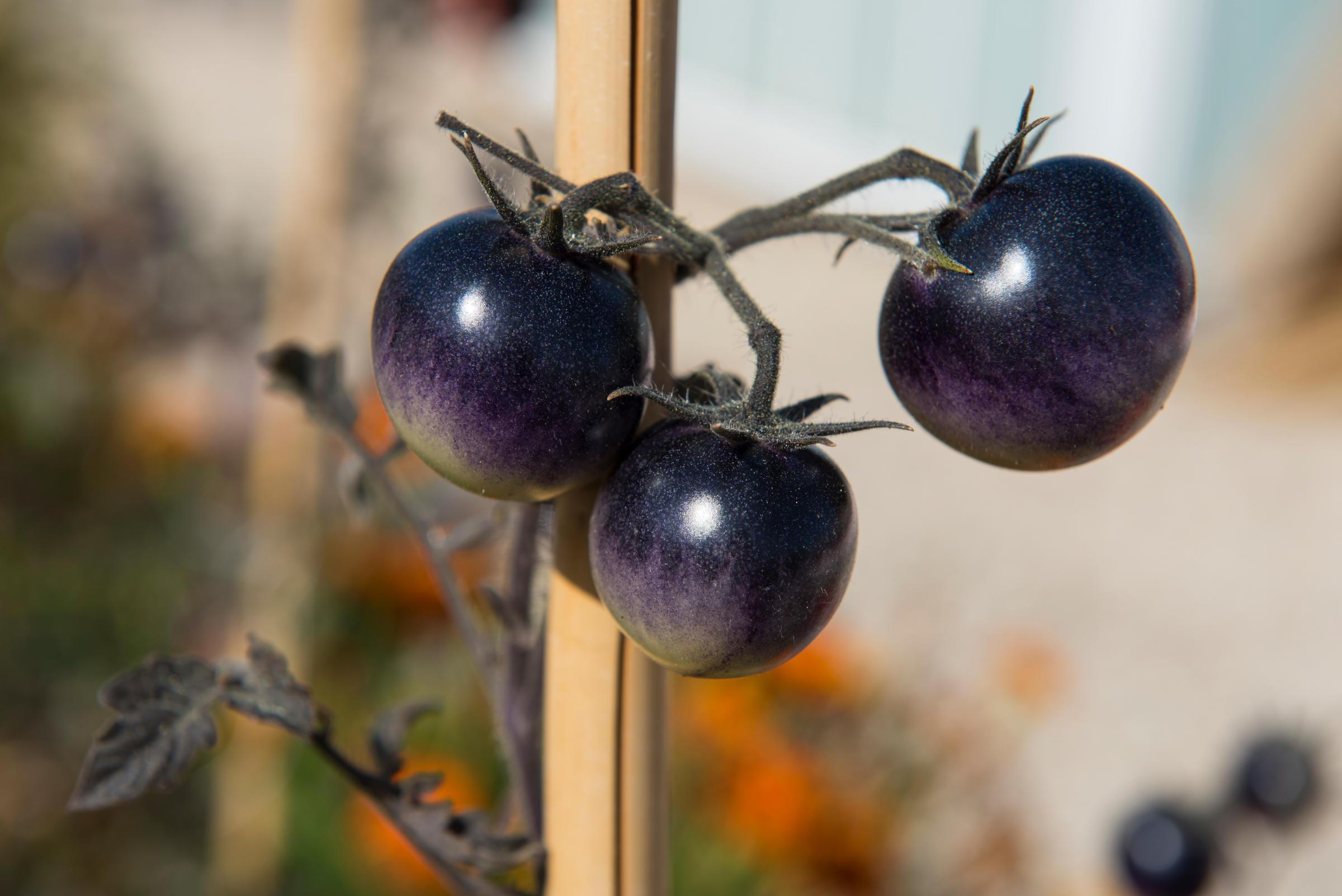 Détail de tomates violettes