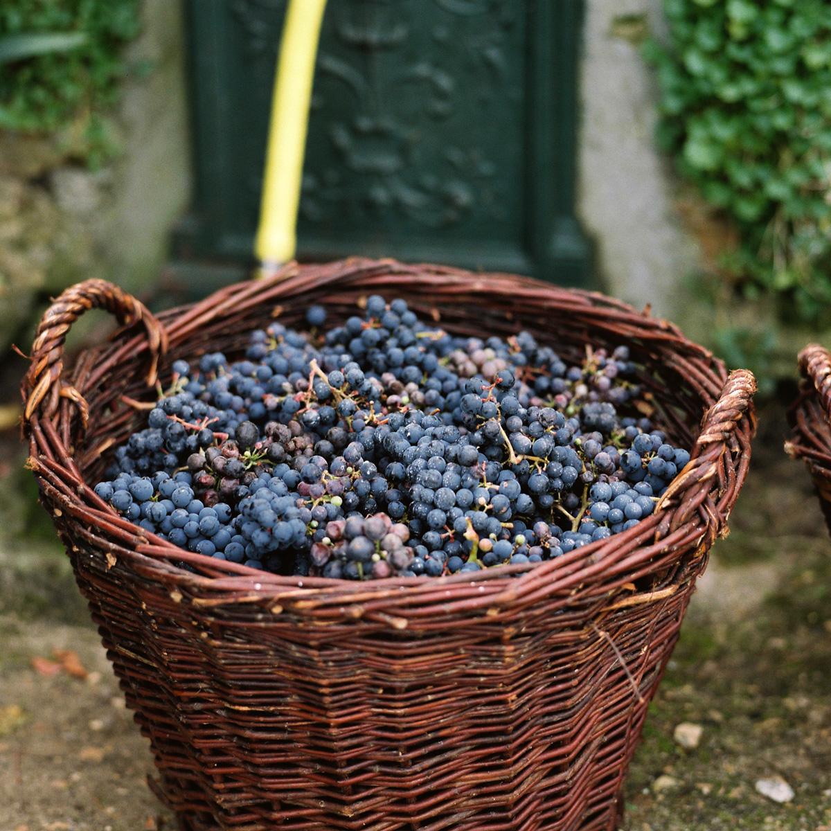Panier rempli de grappes de raisins.