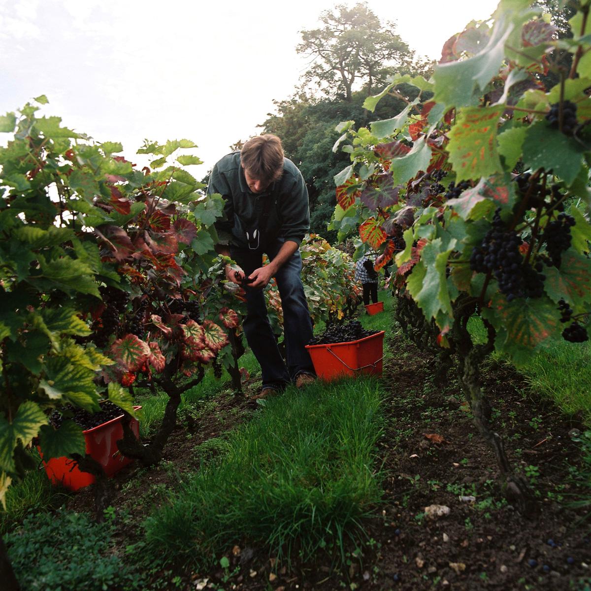 Une personne ceuille des raisins dans les vignes.