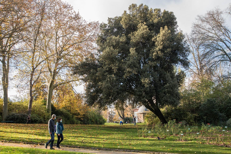 Chêne vert (Quercusilex), Parc Montsouris, Circonférence:245cm, Hauteur: 20m.
