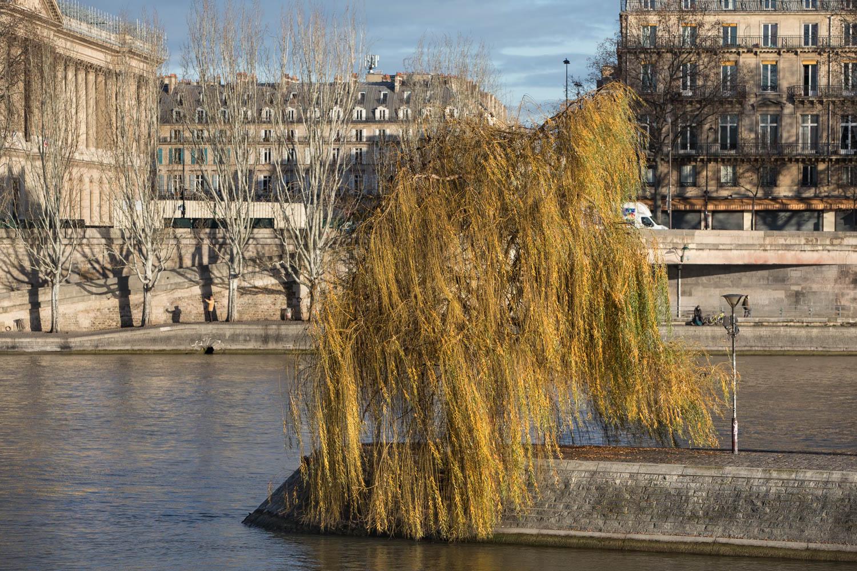 Saule pleureur (Salixbabylonica), Île de la Cité, Circonférence:115cm, Hauteur: 12m.