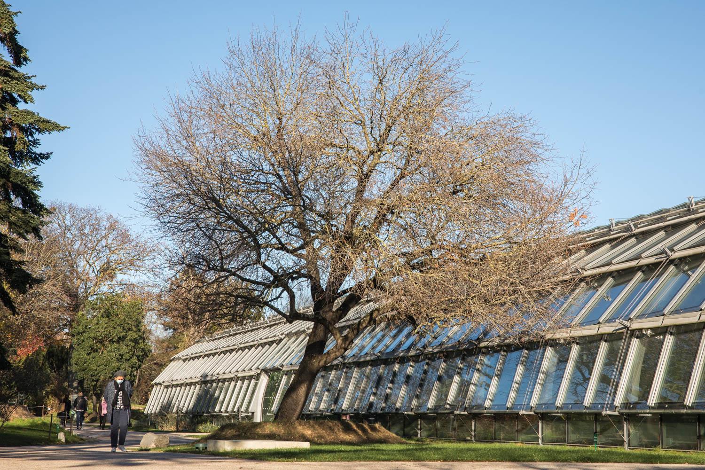 Pistachier (Pistaciaterebinthus), Jardin des serres d'Auteuil, Circonférence:155cm, Hauteur: 12m.
