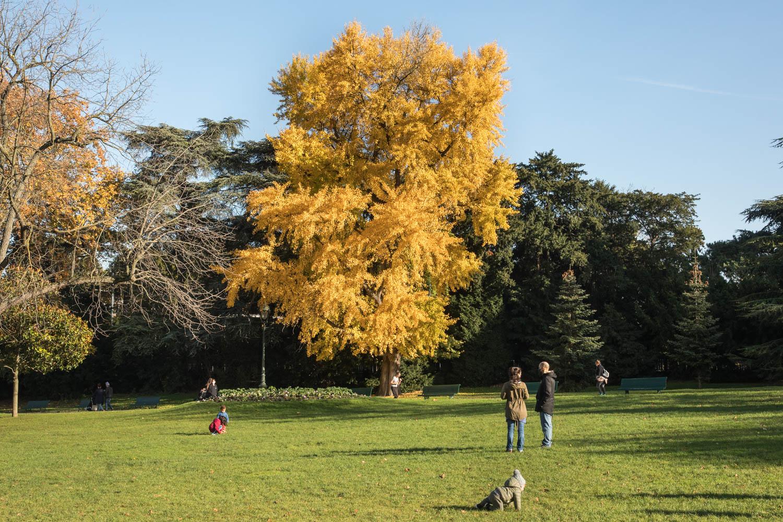 Arbre aux quarante écus (Ginkgobiloba), Parc Montsouris, Circonférence:330cm, Hauteur: 20m, Planté en 1935.
