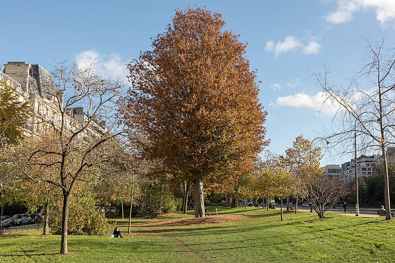 Orme du Caucase (Zelkovacarpinifolia), Avenue Foch, Circonférence:395cm, Hauteur: 30m, Planté en 1852.