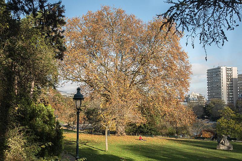 Platane commun (Platanusx hispanica), Parc Montsouris, Circonférence:605cm, Hauteur: 30m, Planté en 1840.