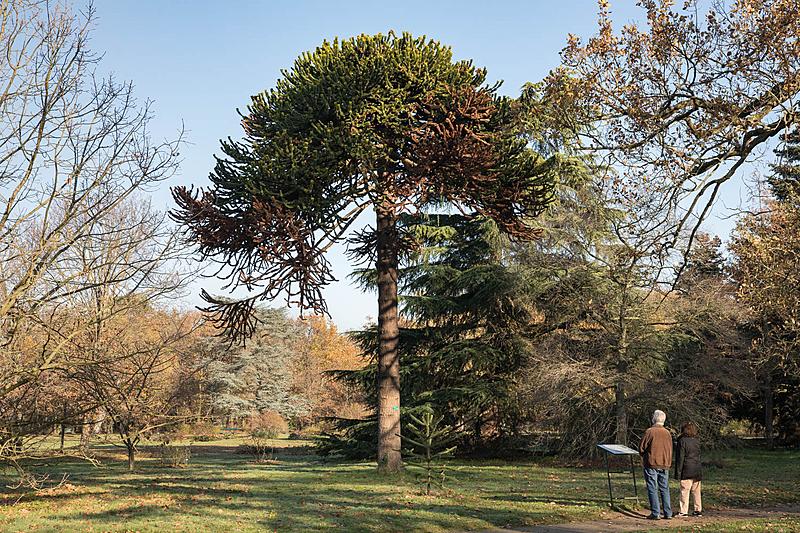 Désespoir du singe (Araucariaaraucana), Parc de Bagatelle, Circonférence:178cm, Hauteur: 11m.
