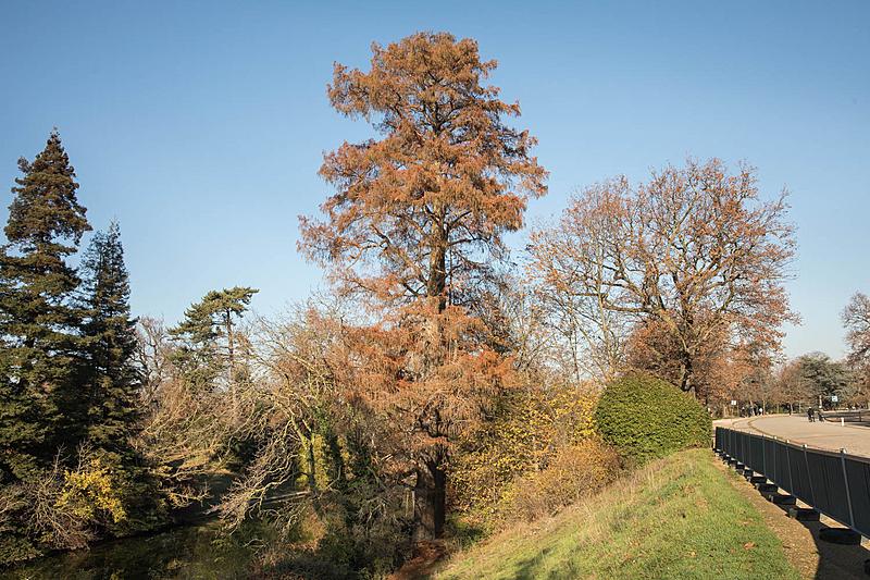 Cyprès chauve (Taxodiumdistichum), Bois de Boulogne, Circonférence:350cm, Hauteur: 31m.