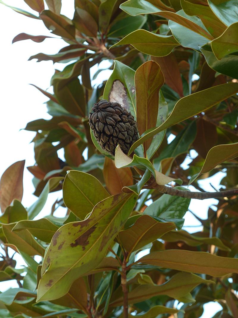 Magnolia grandiflora au parc Montsouris