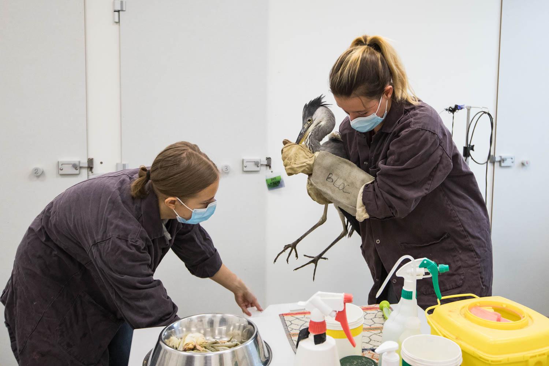 Un soigneur du centre muselle le bec de ce héron cendré pour l'installer délicatement dans une caisse, le temps de nettoyer son box.
