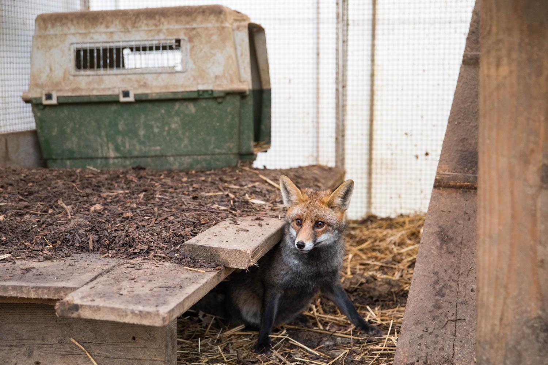 Ce renard roux séjourne en enclos avant de retrouver la liberté. Si son état de santé est encore surveillé, les contacts avec les humains sont désormais limités. Restreindre les échanges reste primordial pour conserver son instinct sauvage.