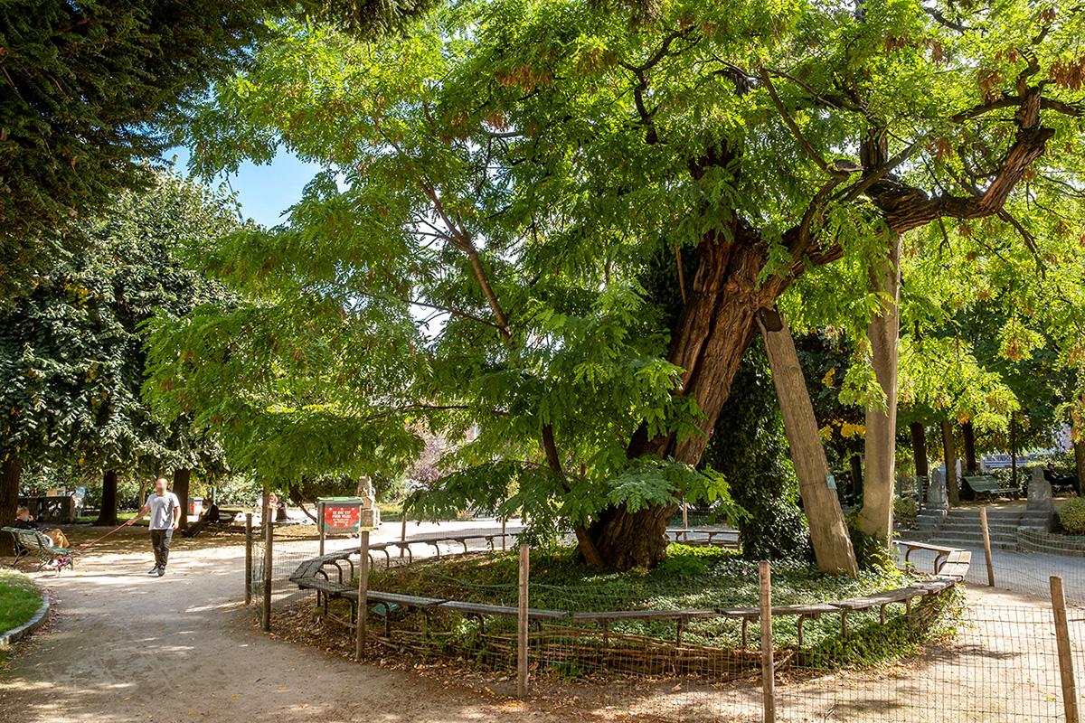 Le Robinier faux-acacia du square René Viviani