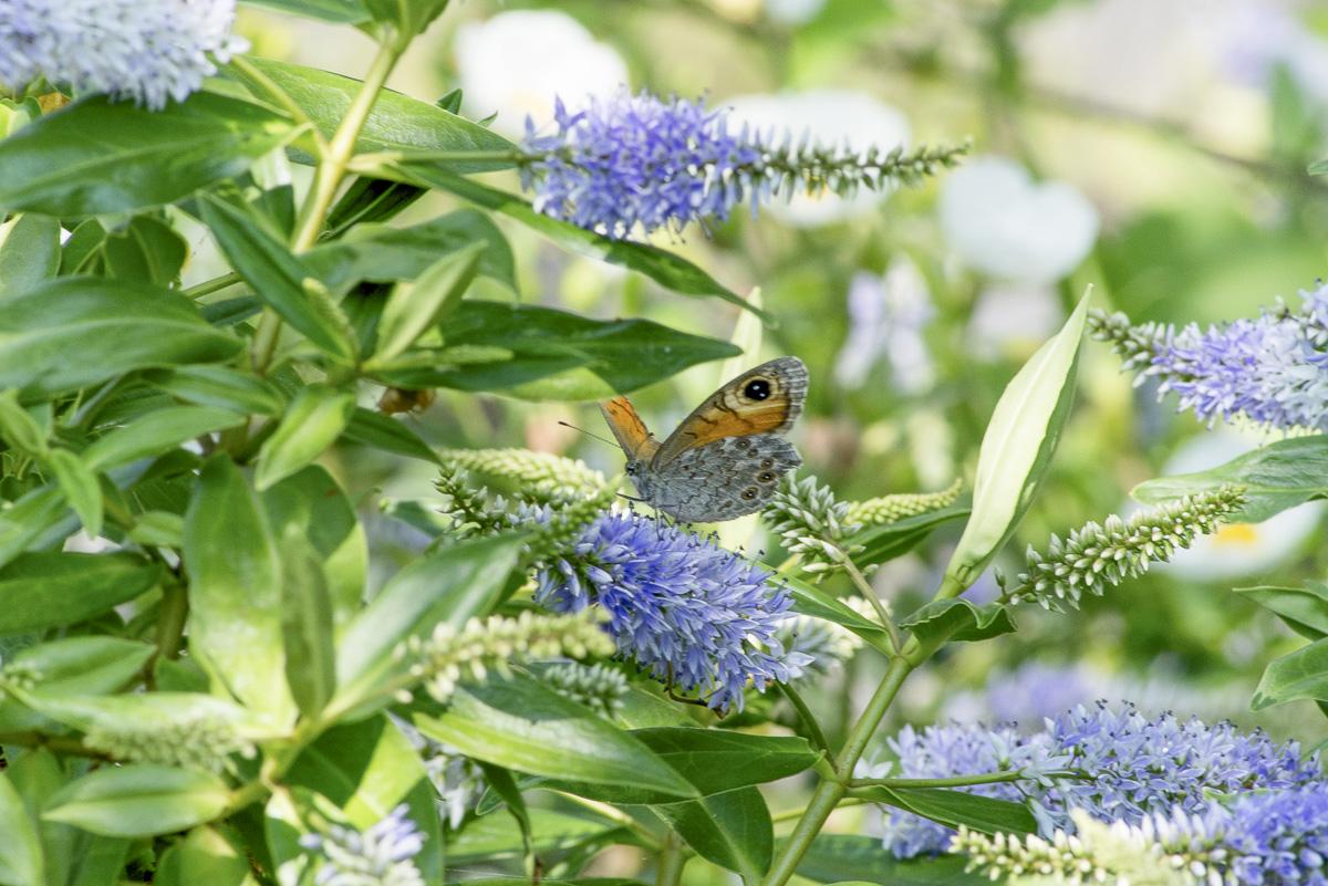 Les papillons viennent butiner dans les fleurs