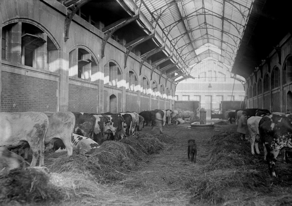 Les écuries des bêtes aux anciens abattoirs de La Villette détruits en 1959. Paris (XIXème arr.), vers 1920.