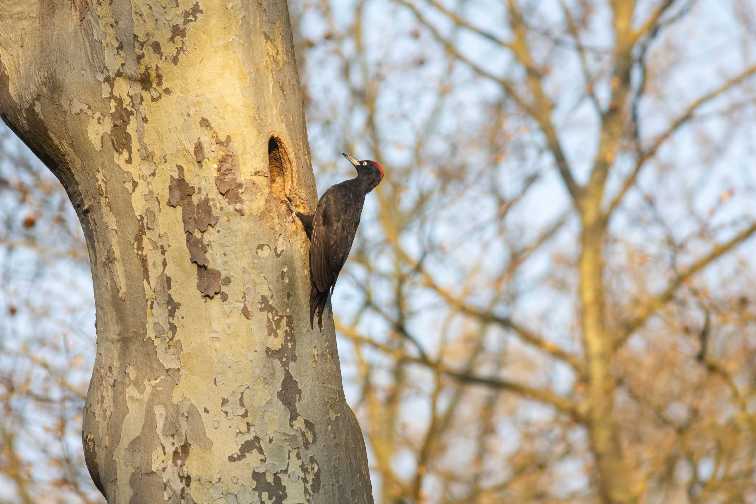 Pic noir (mâle) entrant dans son nid, dans le bois de Boulogne, avril 2021