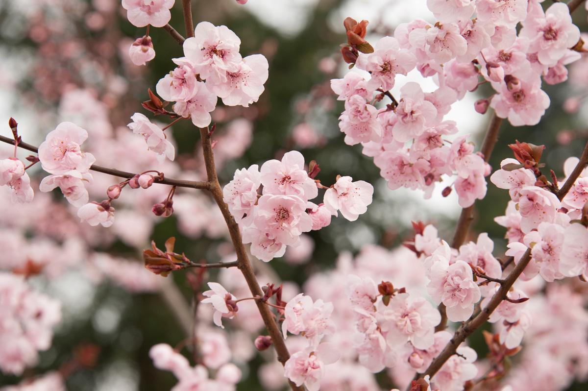 Arbre en fleurs au printemps.