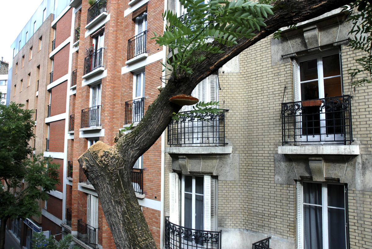 Démontage, élagage d'un arbre malade,(Champignon) rue de Tolbiac.