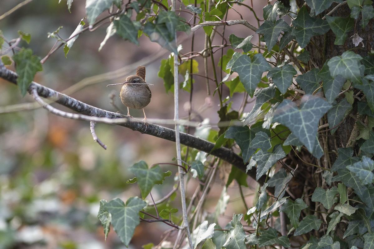 Oiseau Troglodyte mignon au Bois de Boulogne