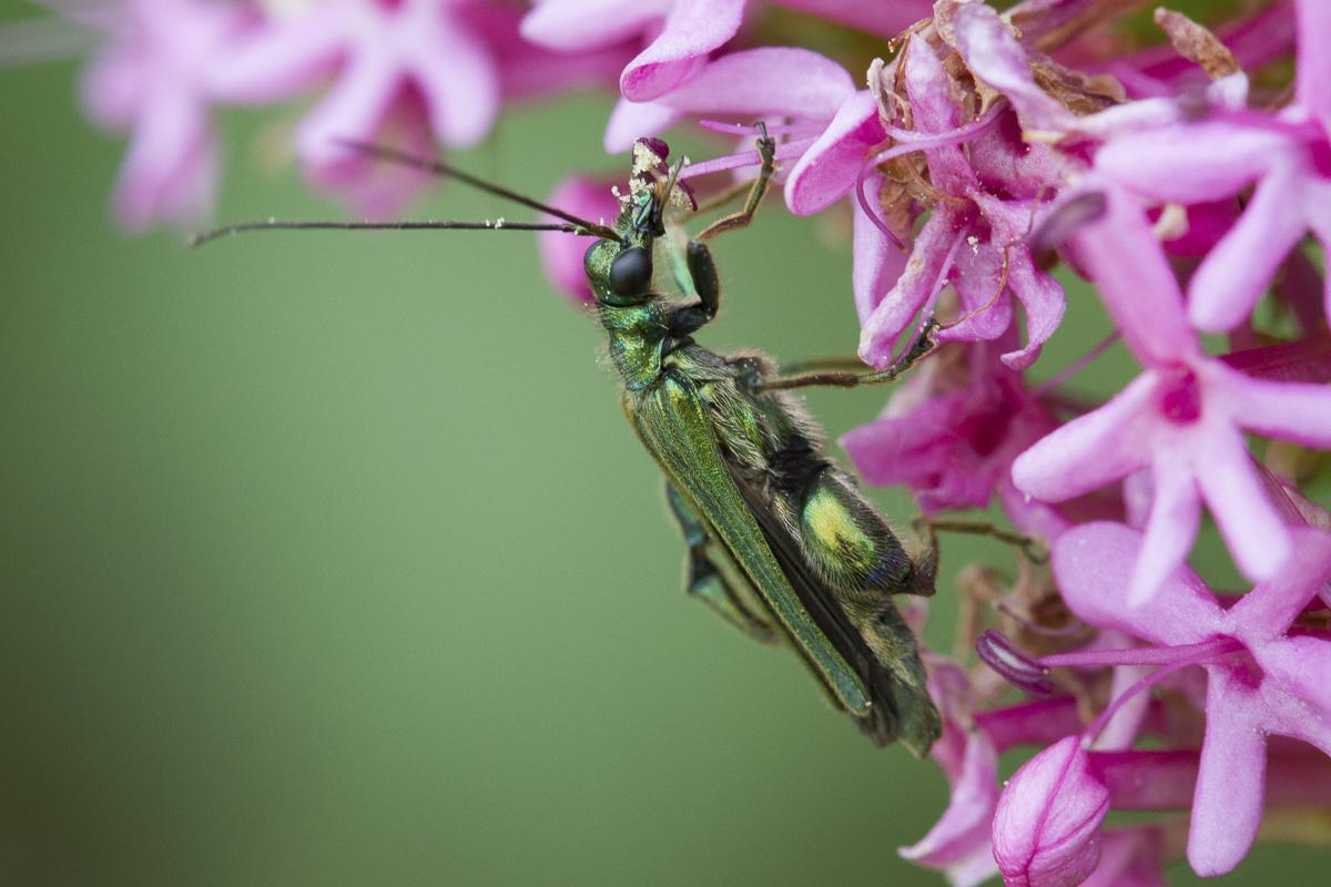 Coléoptère insecte pollinisateur sur une fleur