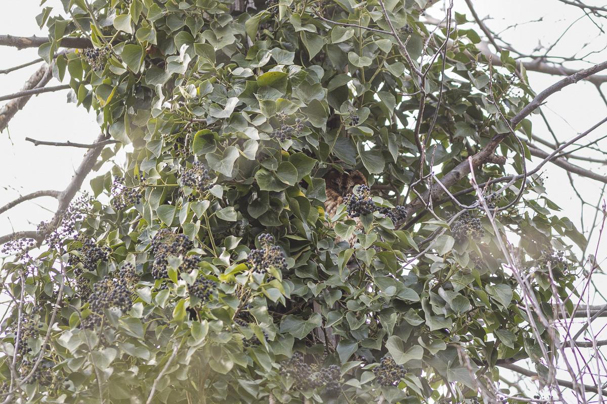 Chouette Hulotte dans le Bois de Vincennes