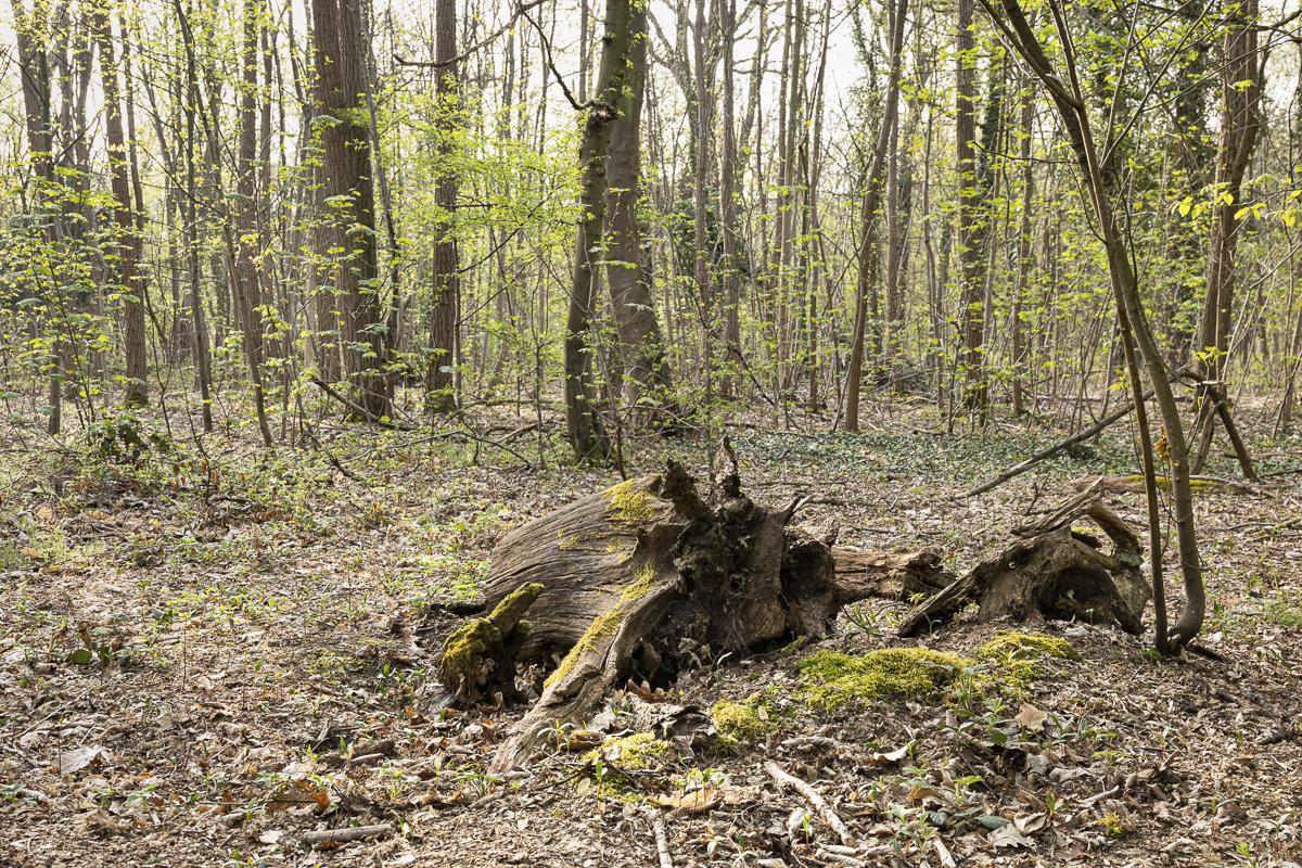 Bois mort dans le bois de Boulogne.