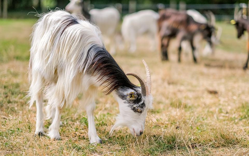 Des chèvres paissent à la Ferme de Paris dans le 12e arrondissement