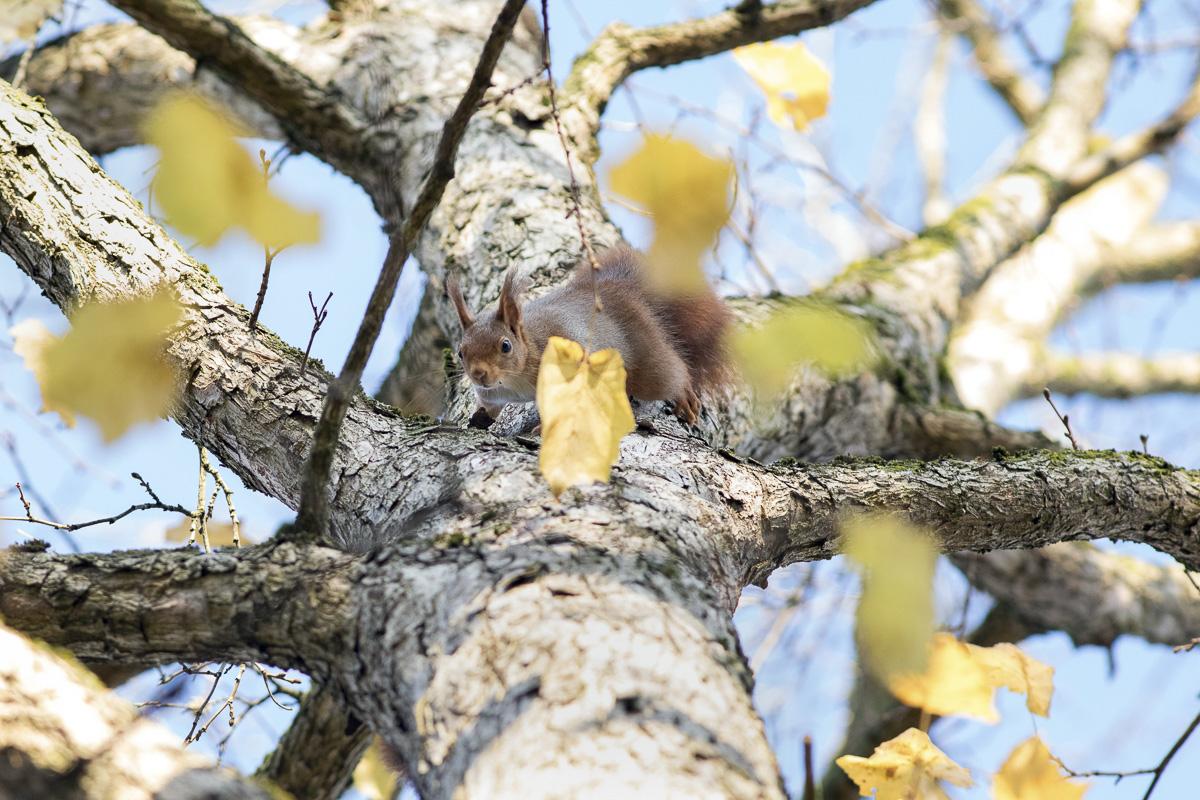 Ecureuil roux dans le Bois de Vincennes.
