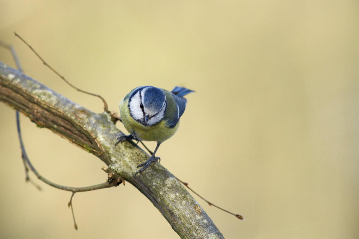 Mésange bleue au bois de Vincennes.
