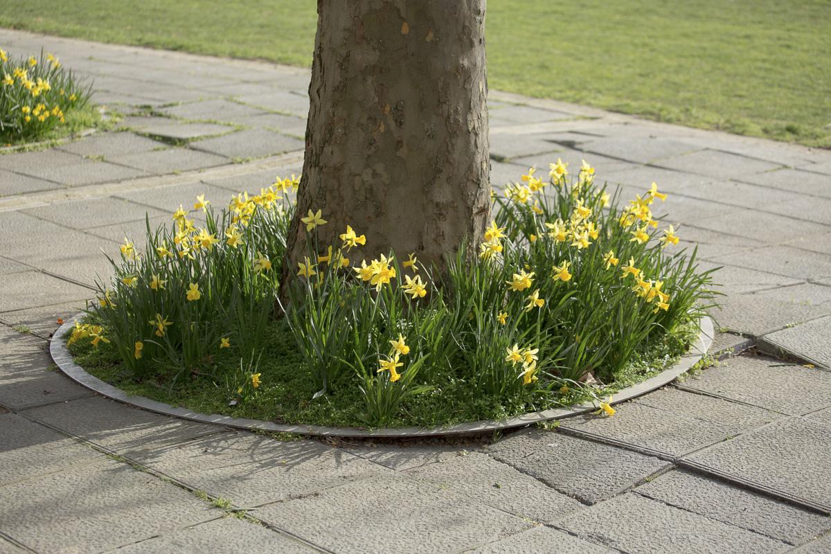 Végétalisation du pied d'un arbre.