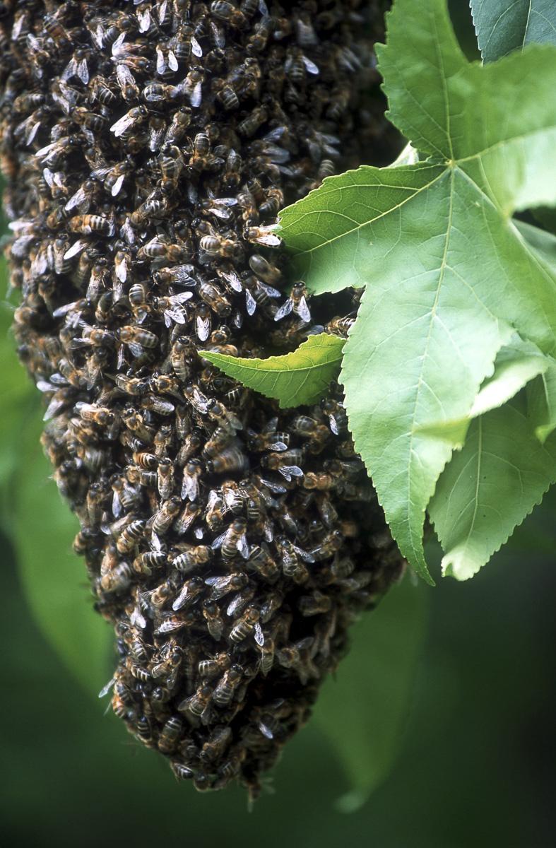 Essaim d'abeilles dans un arbre.