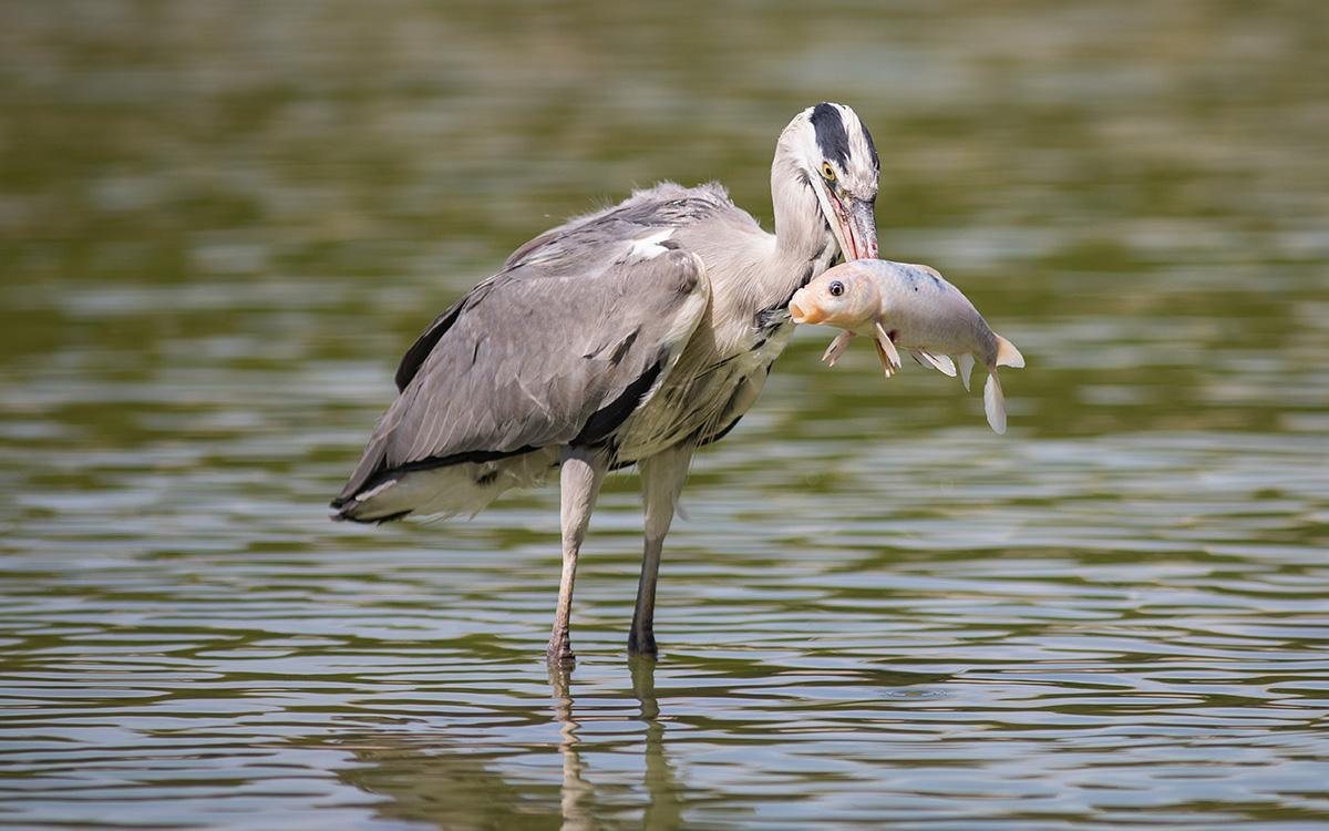 Héron cendré ayant attrapé un poisson