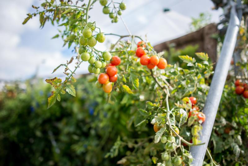 Tomates en extérieur