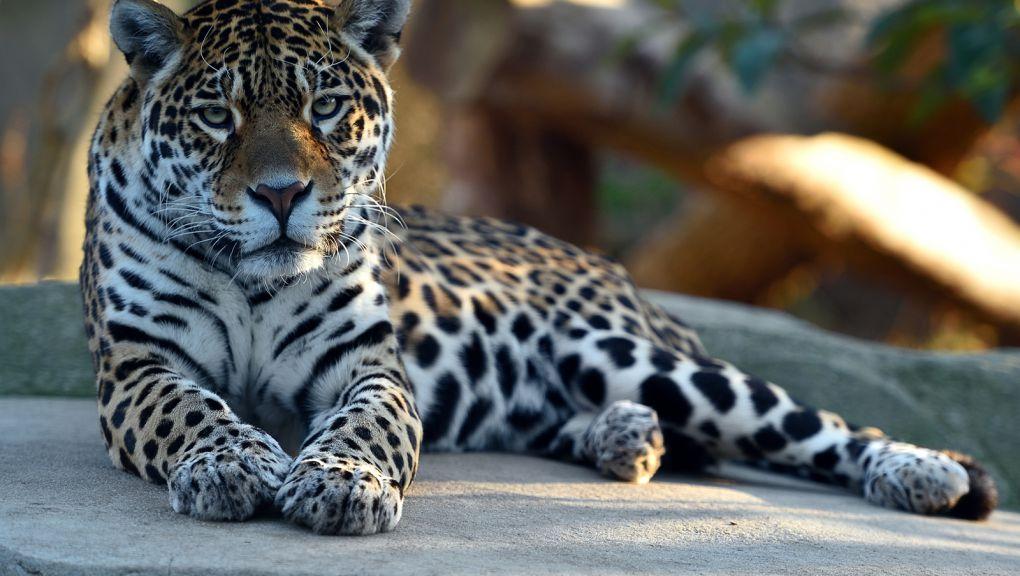 Simara, la femelle jaguar