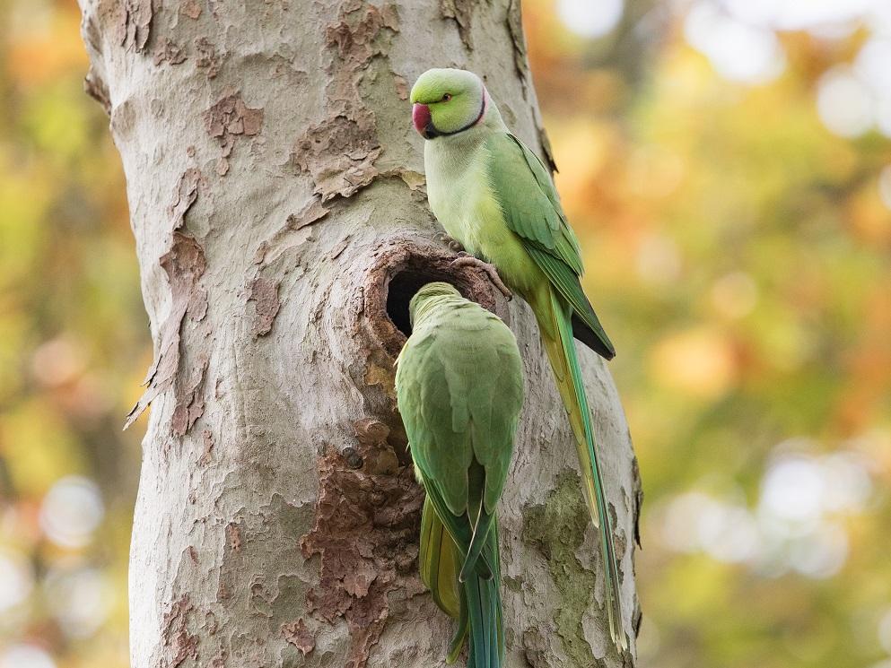 Couple de perruches au cimetière de Bagneux
