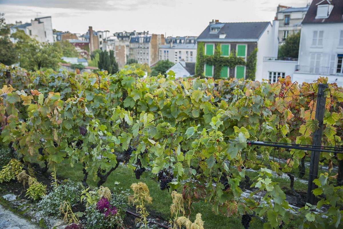Les vignes de Montmartre