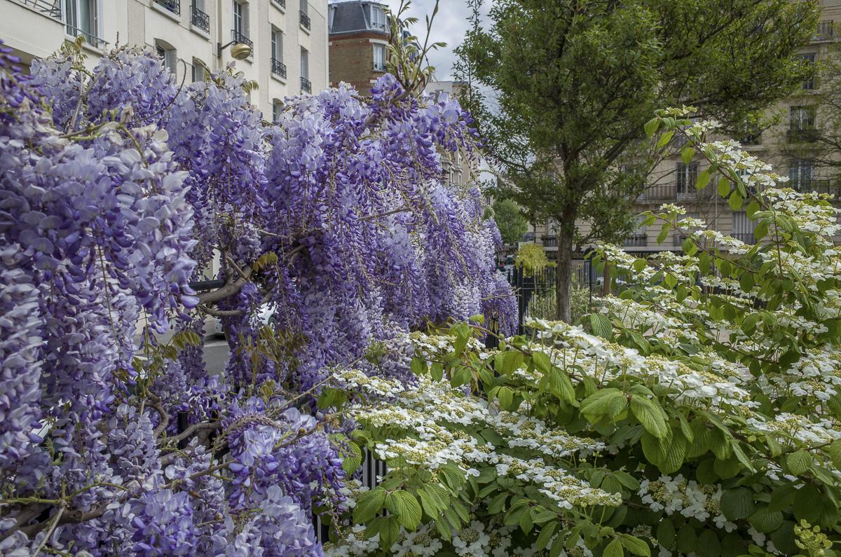 La glycine est une plante grimpante à la floraison généreuse et odorante.