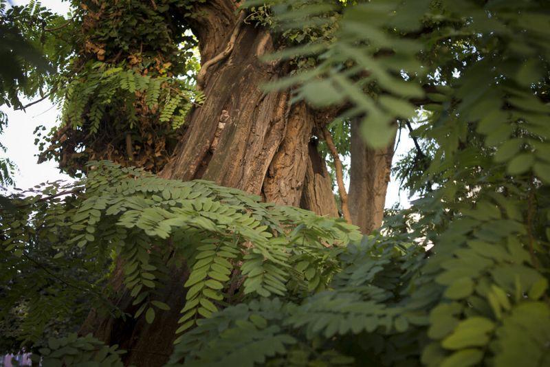 el árbol más antiguo de París / plaza Viviani