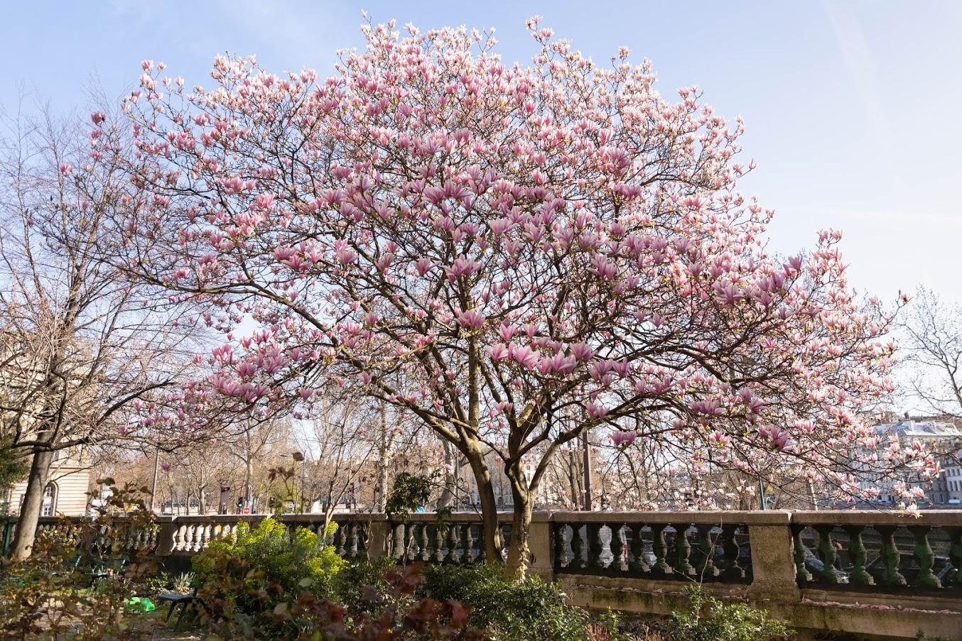 Magnolia en fleurs du jardin des combattants de la Nueve