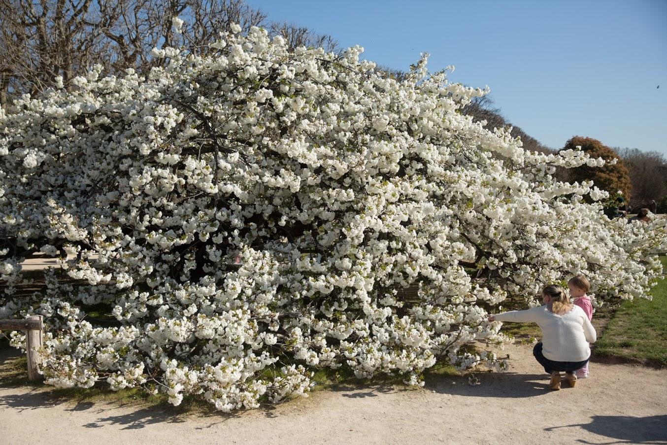 Cerisier japonais du Jardin des Plantes en fleur