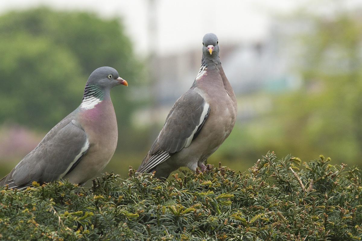 Deux pigeons à Montmartre